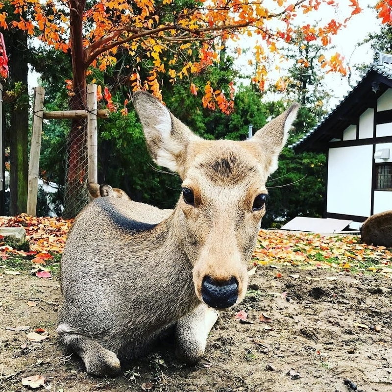 There are many Deers in Nara