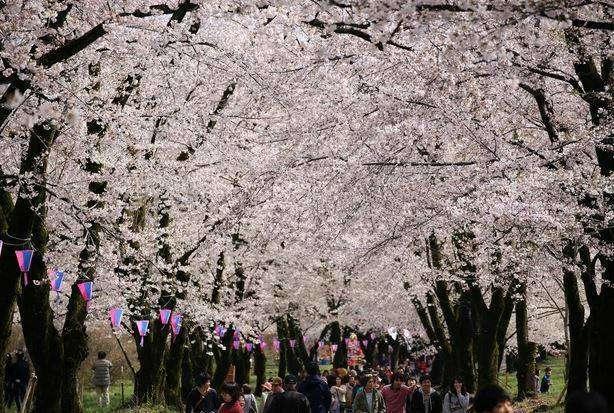 赤城南面の千本桜の様子
