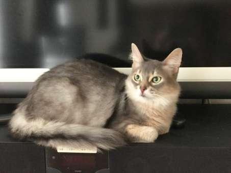 テレビの前に座るソマリ猫