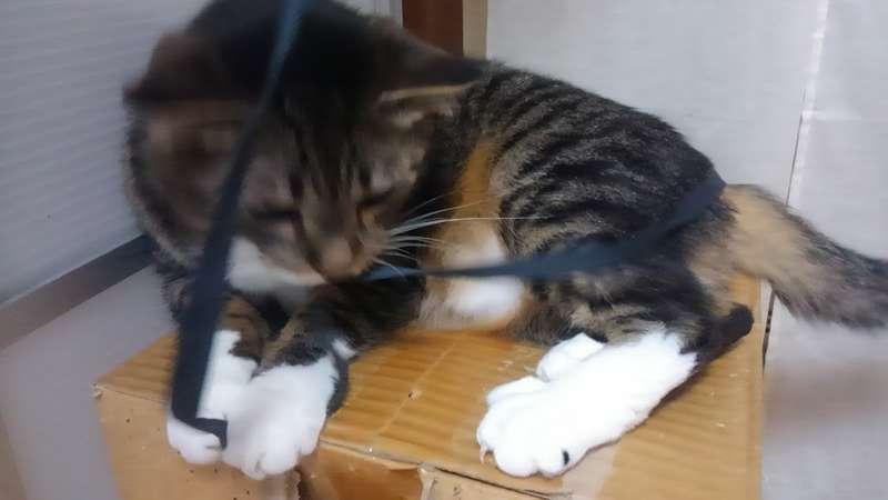 紐で遊ぶネコ