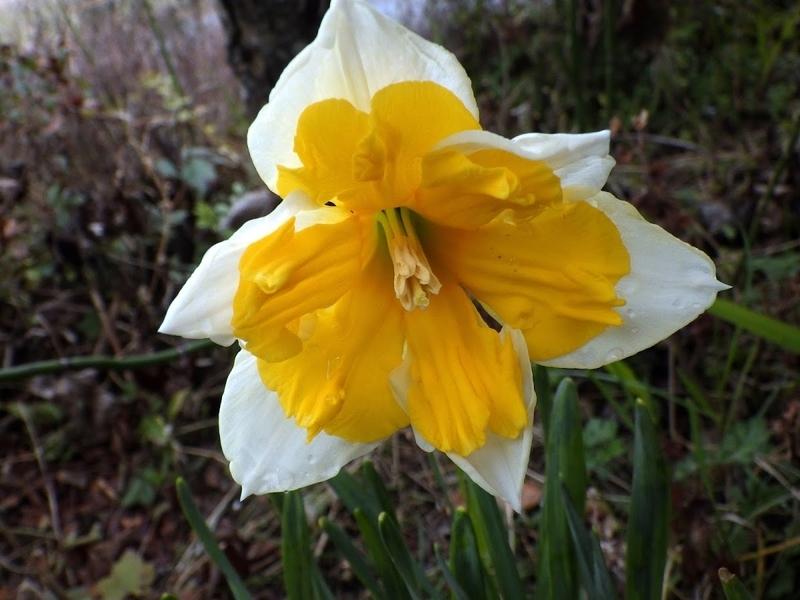 スプリットコロナ系 カラー水仙の花