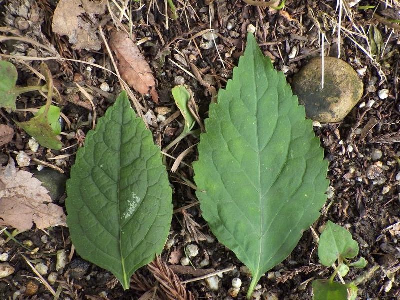 葉の表の比較写真