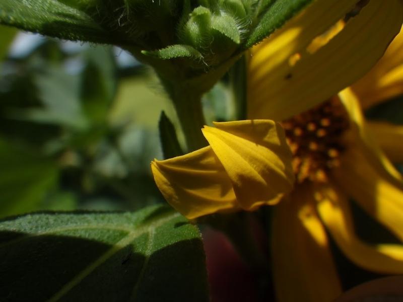 舌状花の先端の様子