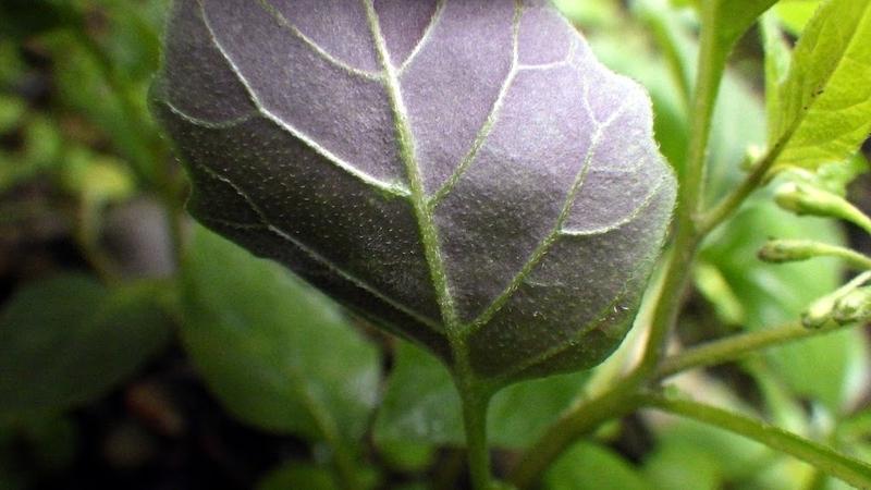 紫色を帯びる葉の裏の様子1