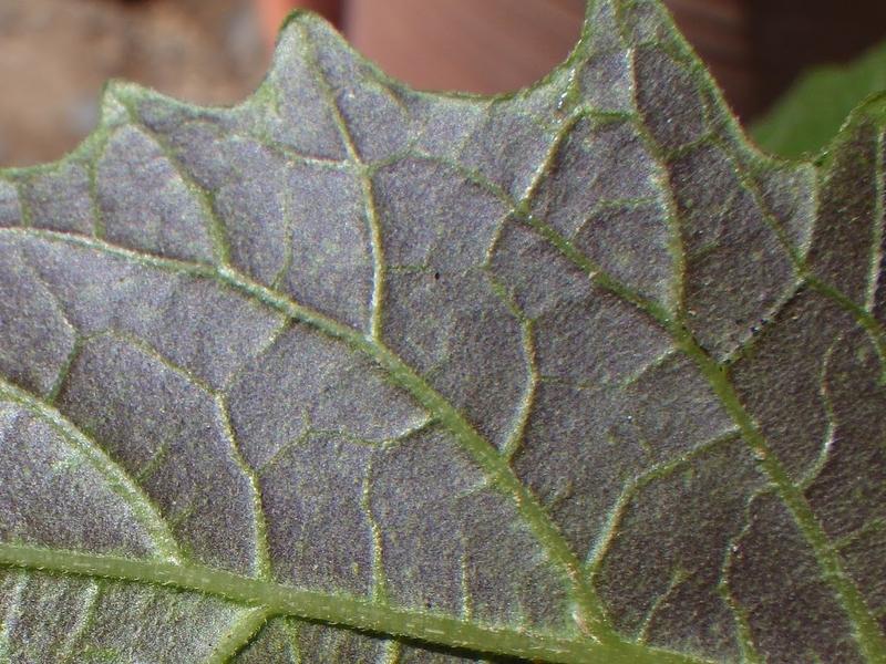 紫色を帯びる葉の様子2