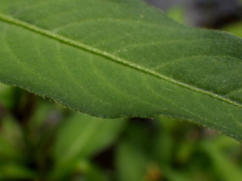 葉の表の様子