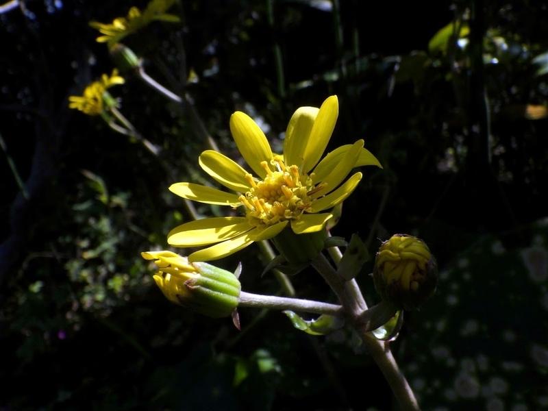 キモンツワブキの花
