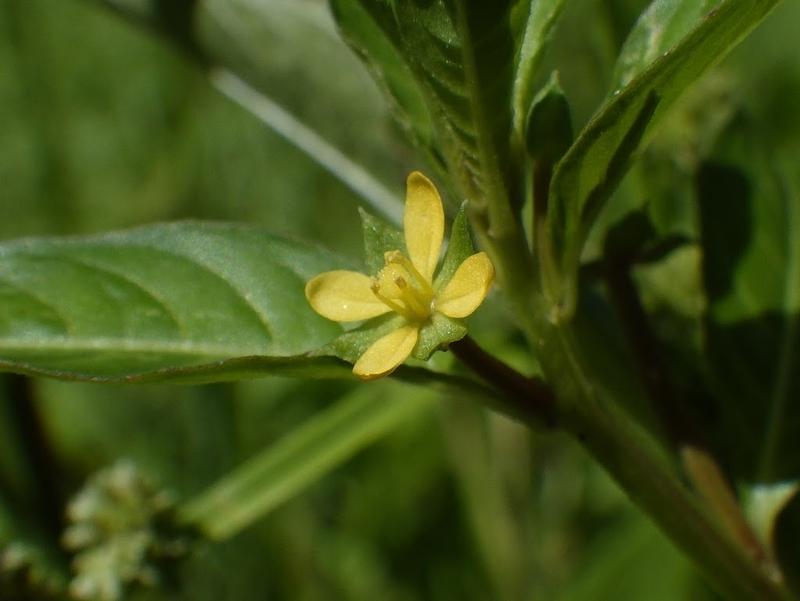 チョウジタデの花1