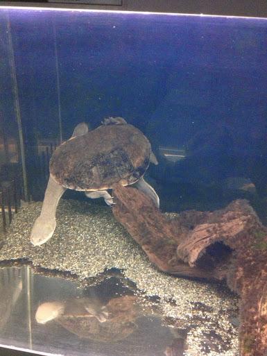 ヘビクビガメ