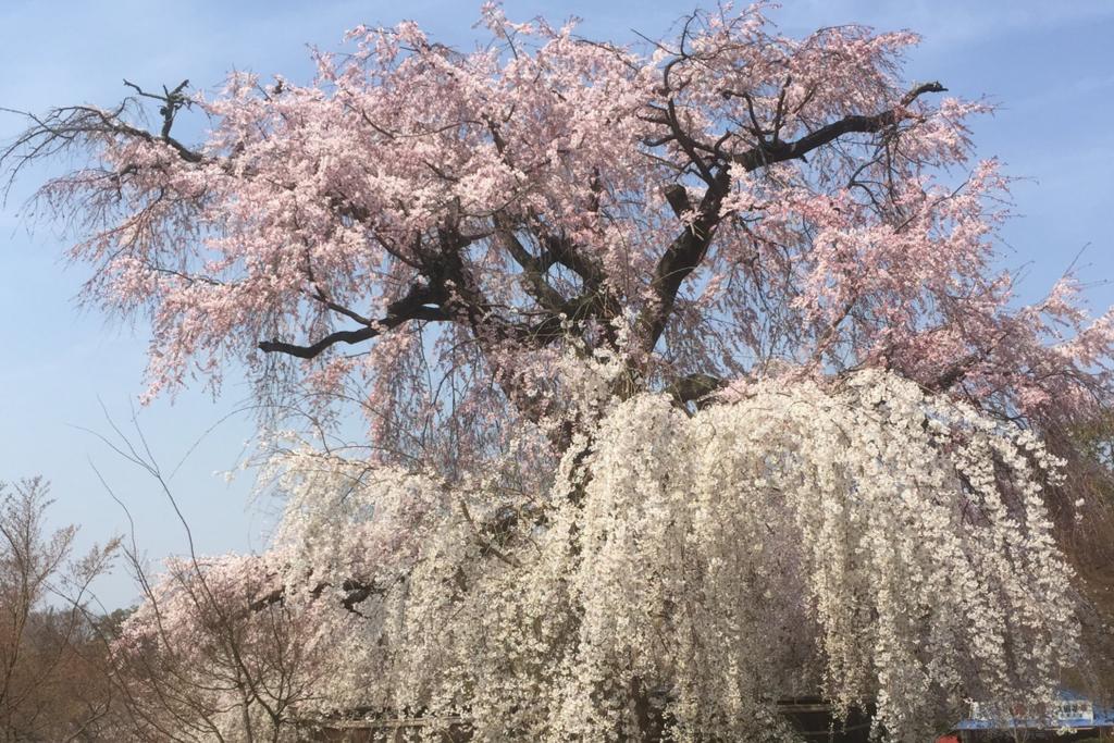 2018年の桜の写真 1
