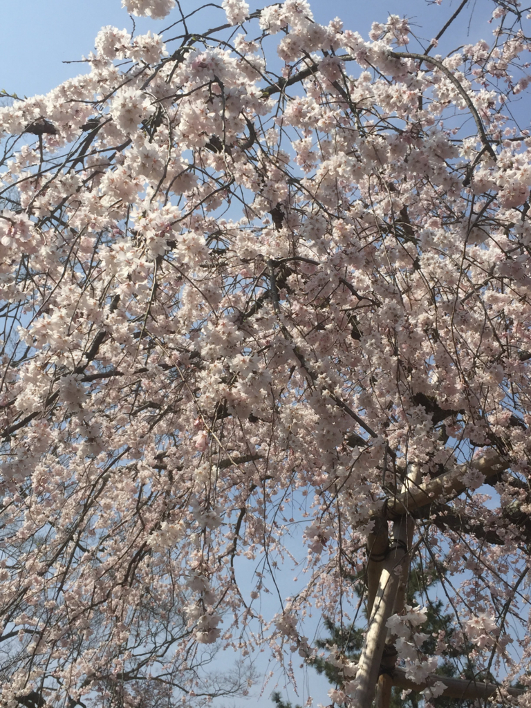 2018年の桜の写真 3