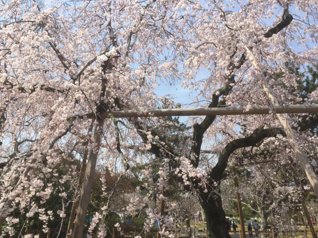 2018年の桜の写真 4