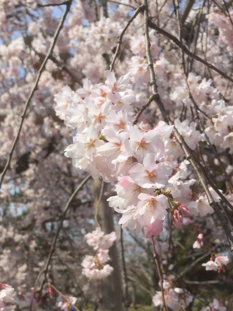 2018年の桜の写真 5