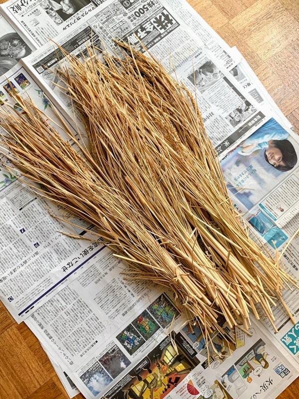 自家製の稲の画像